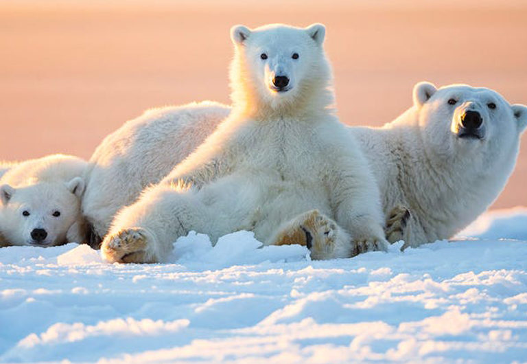 10 удивительных фактов о белых медведях