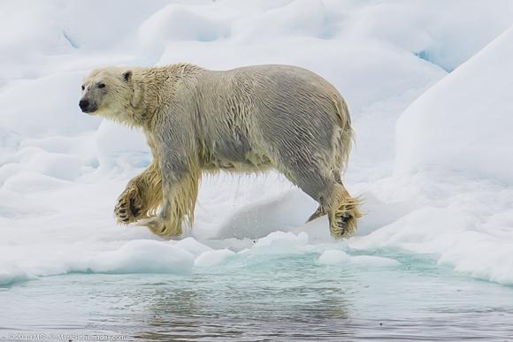Белые медведи чернокожие