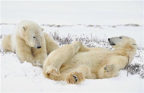 У белых медведей могут быть приятели