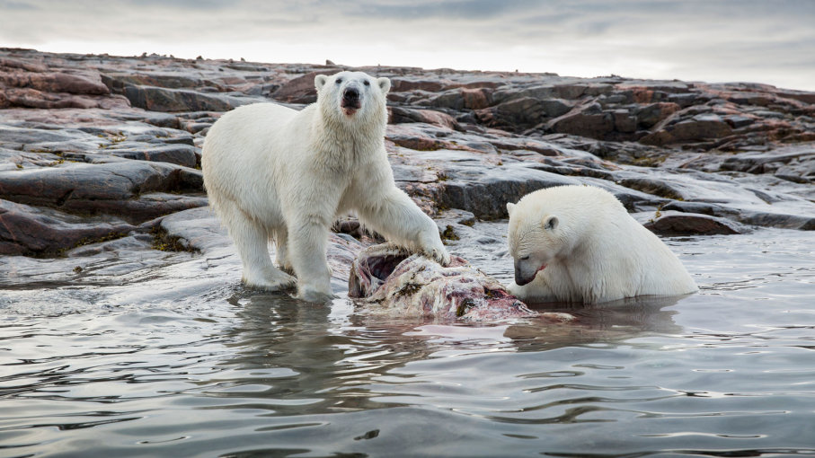 Белым медведям тяжело охотиться