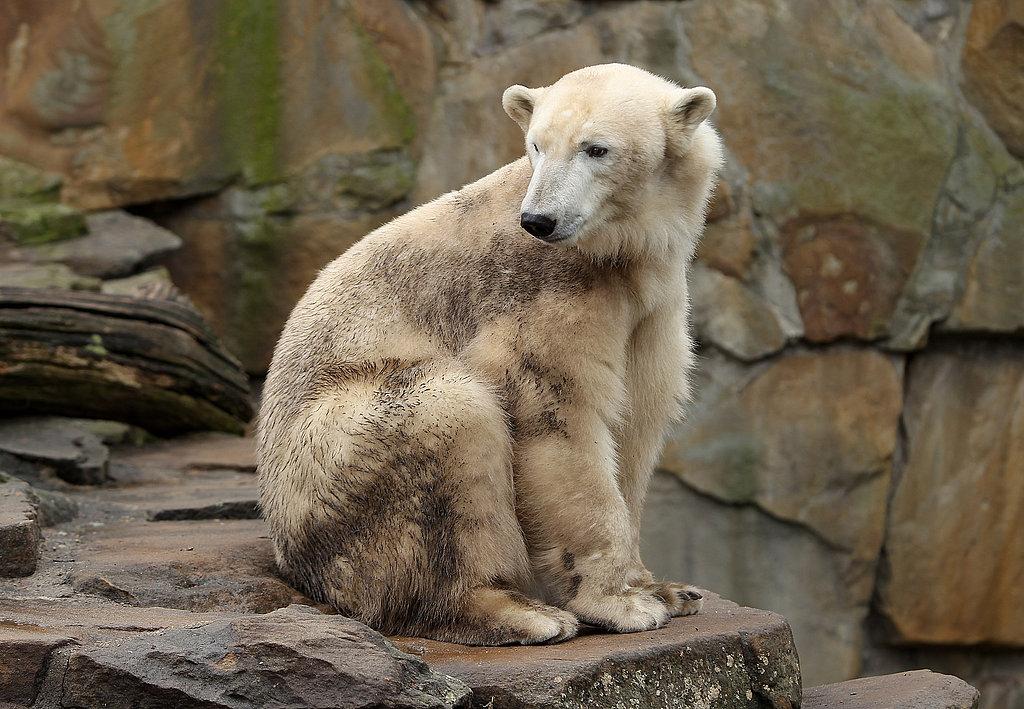 Существуют гибриды полярного медведя и медведя гризли