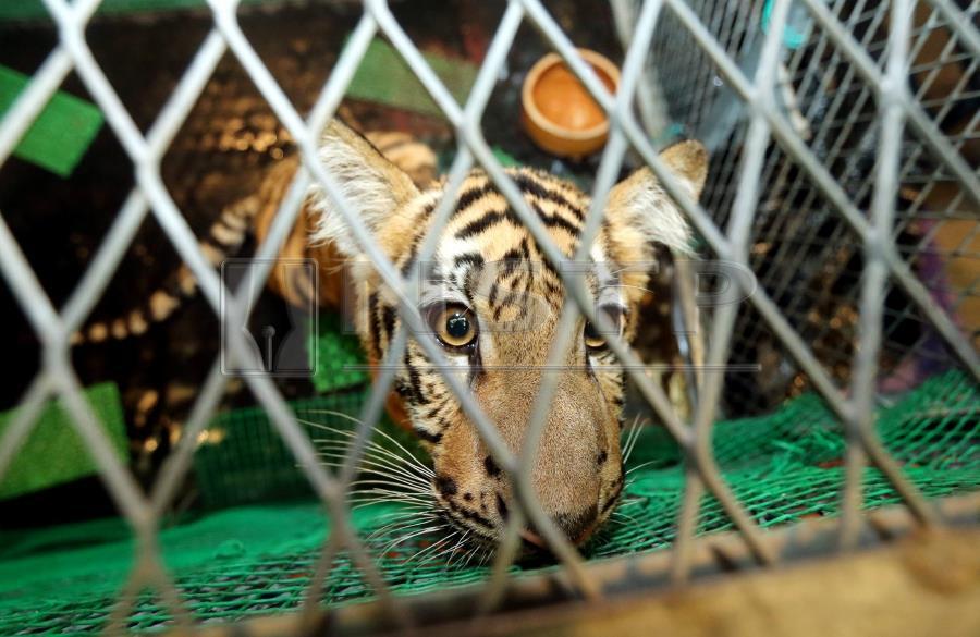 Малайзия торговля дикими животными