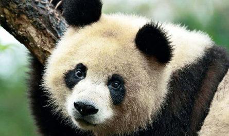 9 фактов о пандах в честь Международного дня панды