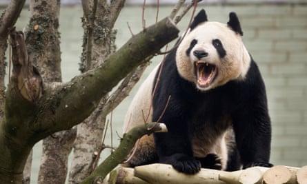 Панды - самый громкий из всех видов медведей.