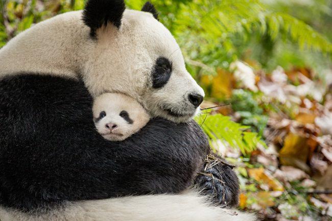 Средняя продолжительность жизни панды в дикой природе составляет 14-20 лет.