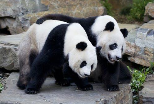 Большие панды имеют характерную черно-белую шерсть с черным мехом вокруг глаз и ушей, морды, лап и плеч.