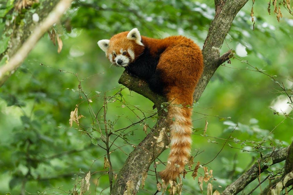 Красная панда немного больше домашней кошки с медвежьим телом и густым рыжим мехом.