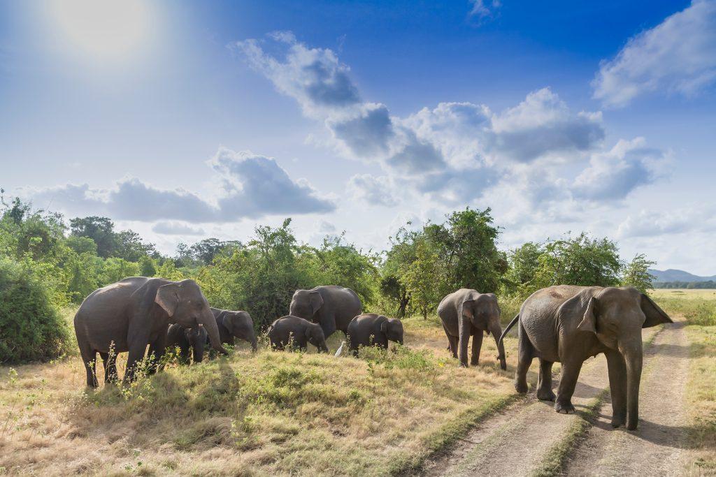 Национальный парк Миннерия, Шри-Ланка