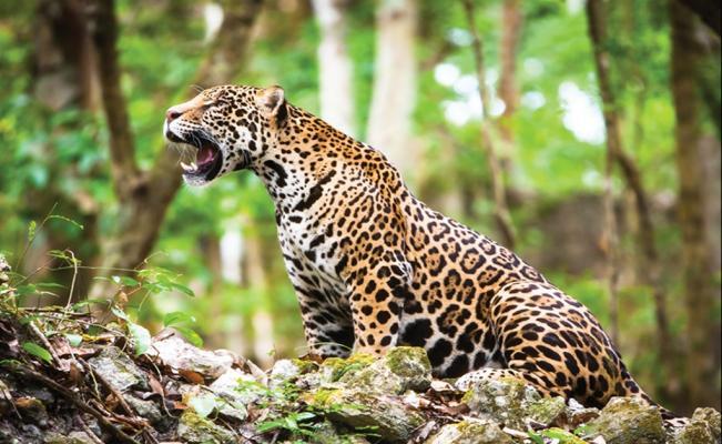 Мексика-страна ягуаров