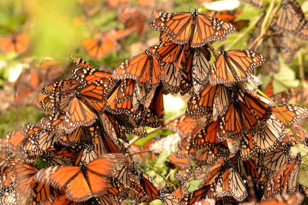 Ежегодно в Мексику мигрируют 17 млн бабочек-монархов