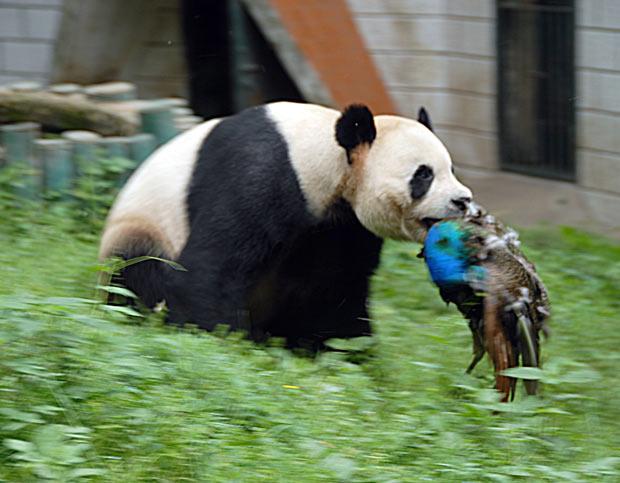 Иногда не хватает бамбука, чтобы удовлетворить потребности больших медведей, тогда панды дополняют свою бамбуковую диету грызунами, рыбой, насекомыми или птицами.