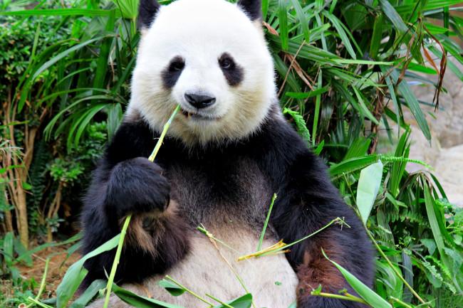 Панды живут в основном в умеренных лесах высоко в горах юго-западного Китая, где они питаются почти только бамбуком.