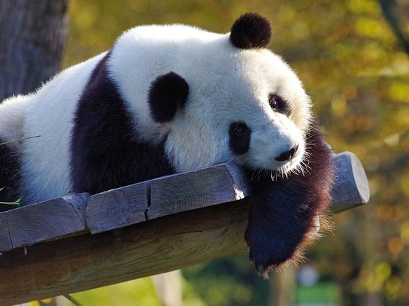 По большей части большие панды одиночки.