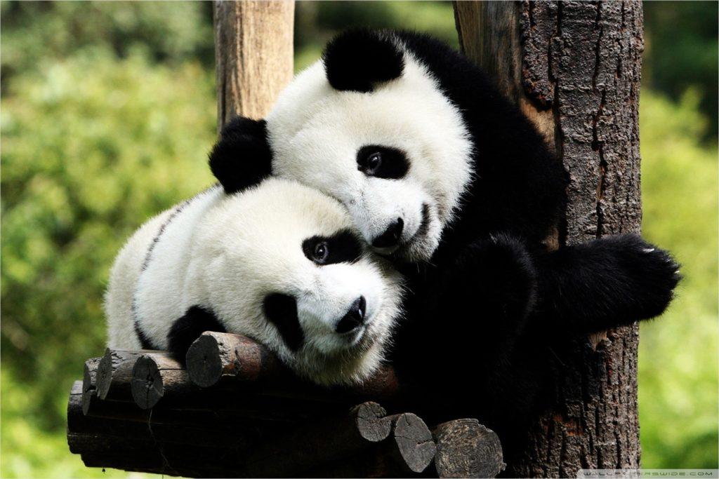 Известно, что панды любопытны и игривы.