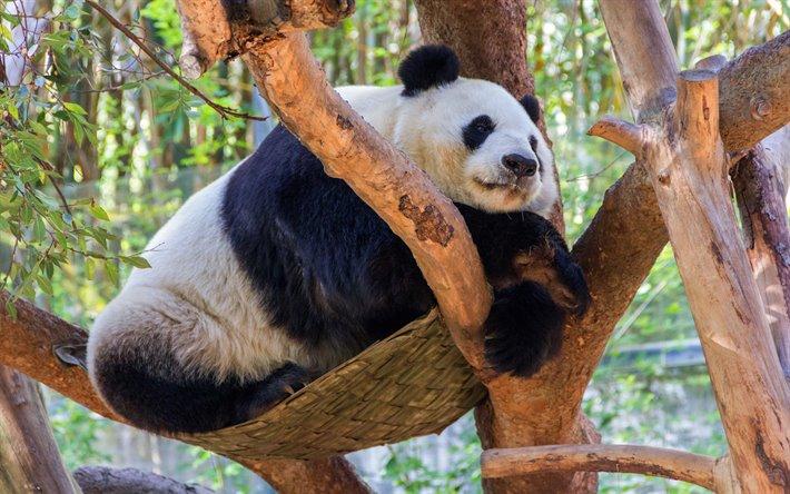 Эти медведи - отлично лазают по деревьям, несмотря на свой вес.