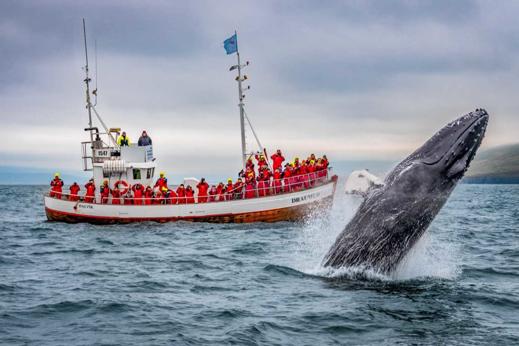 Исландия киты