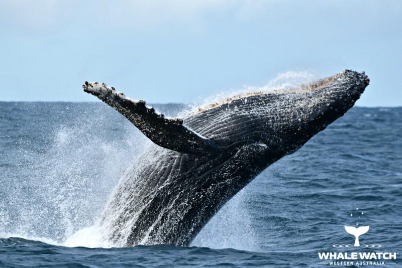 Австралия киты