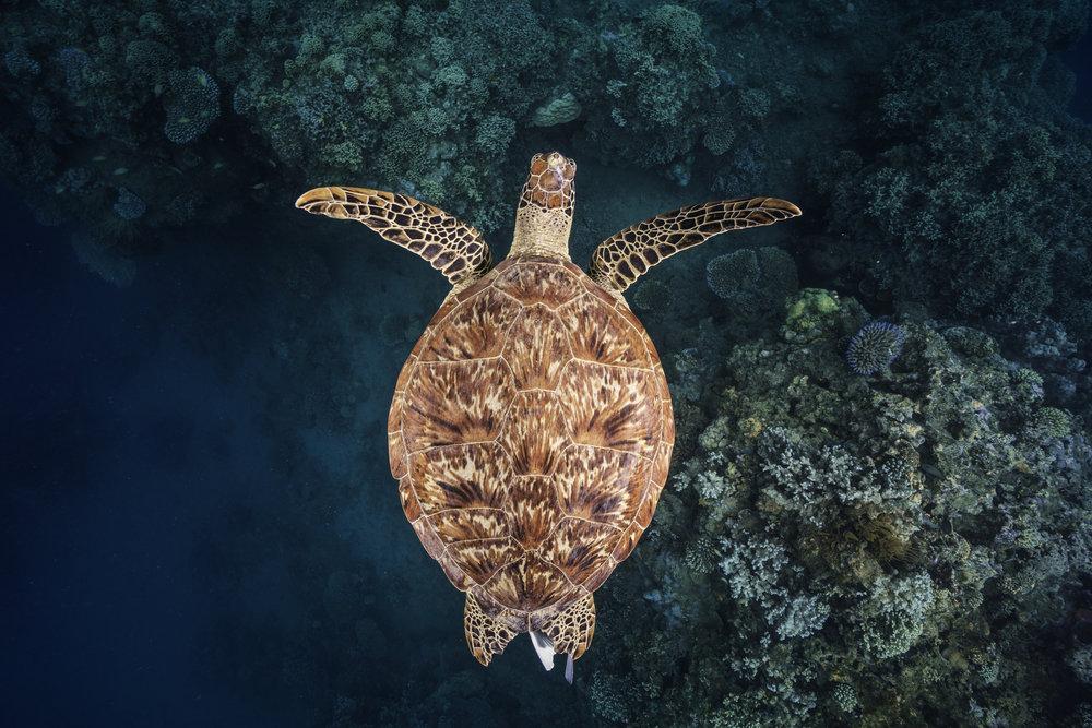 Зелёная морская черепаха