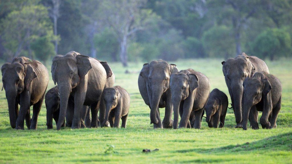 Цейлонский слон
