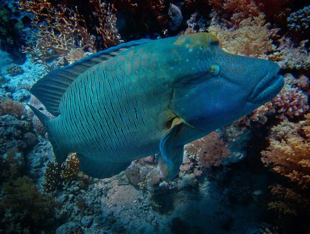 Рыба Cheilinus undulatus