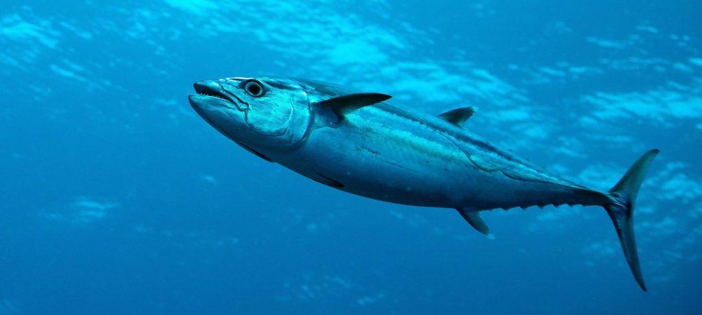 Длиннопёрый тунец