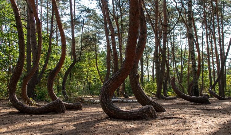 Изогнутый лес, Польша