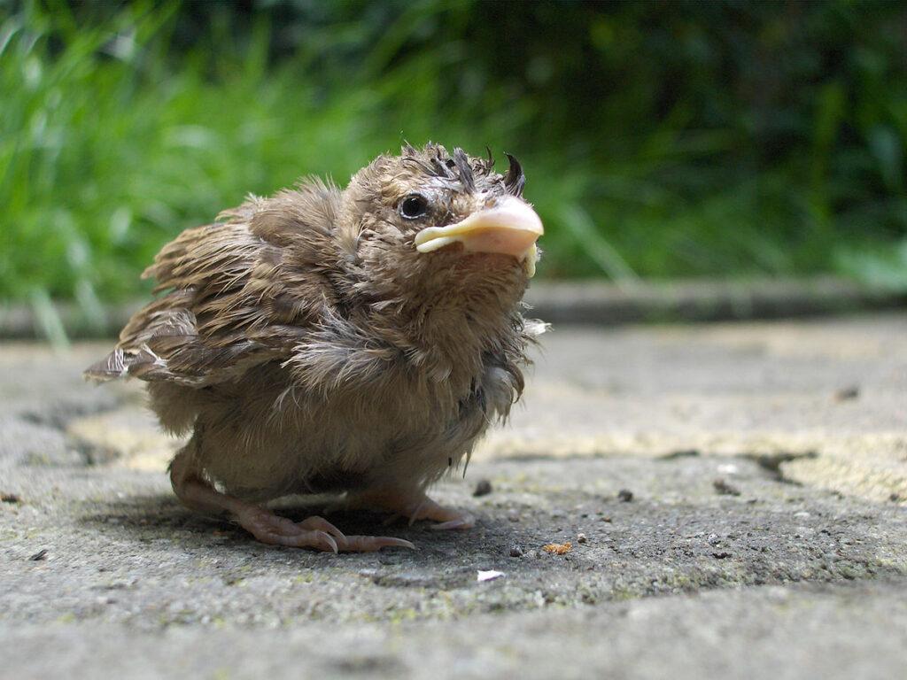 Человеческое прикосновение оставляет на птенце запах, из-за которого мать его бросит