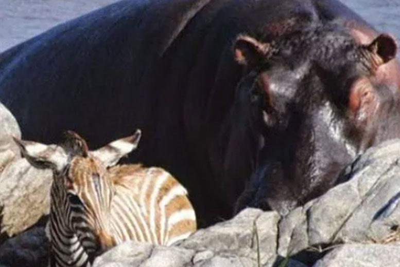 Бегемот спас детеныша антилопы гну от утопления