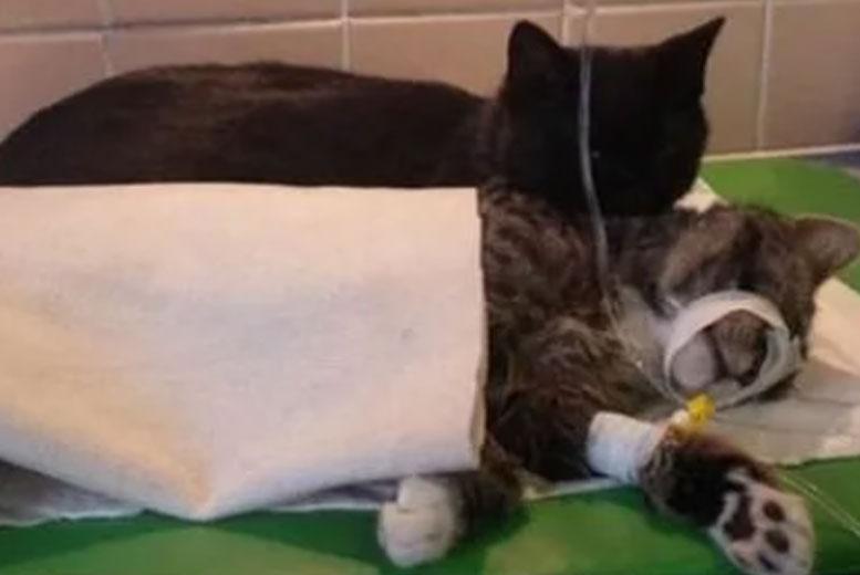 Кот, переживший респираторное заболевание, стал ухаживать за другими животными