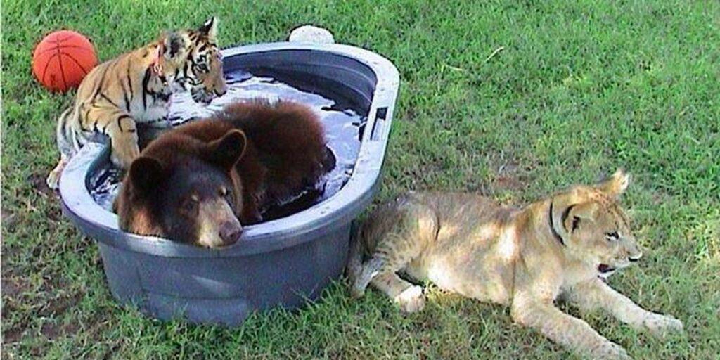 Медведь, лев и тигр стали друзьями после чудесного спасения