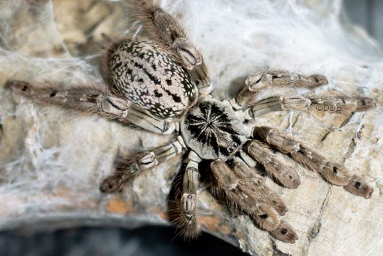Красивый, но очень опасный паук из Африки