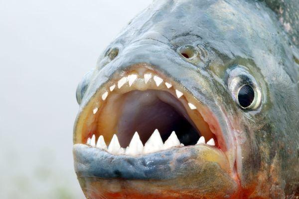 Зубы пираньи могут заменяться