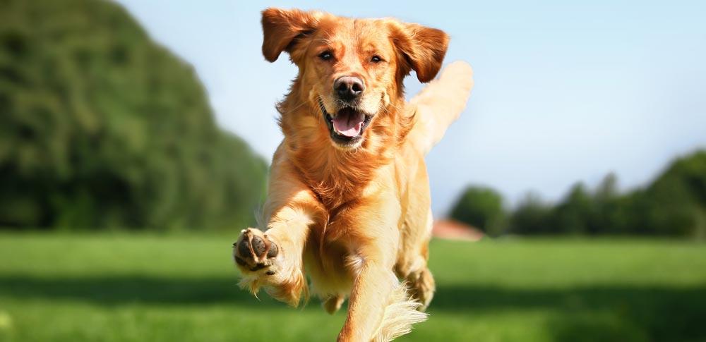 Почему у собак случаются внезапные приливы энергии?