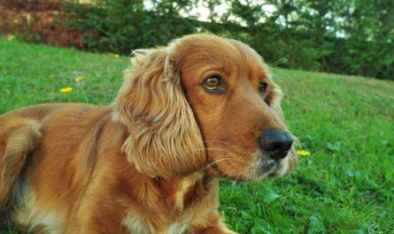 9 фактов о дружелюбных собаках - кокер-спаниелях
