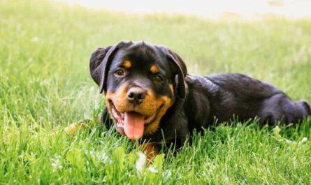 10 фактов об преданной породе собак - ротвейлерах